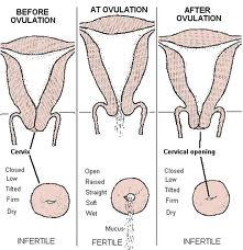 how to know if you re ovulating