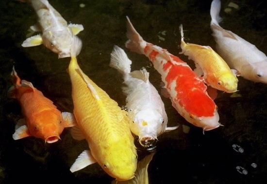 Most expensive and ordinary things for How much are koi fish worth