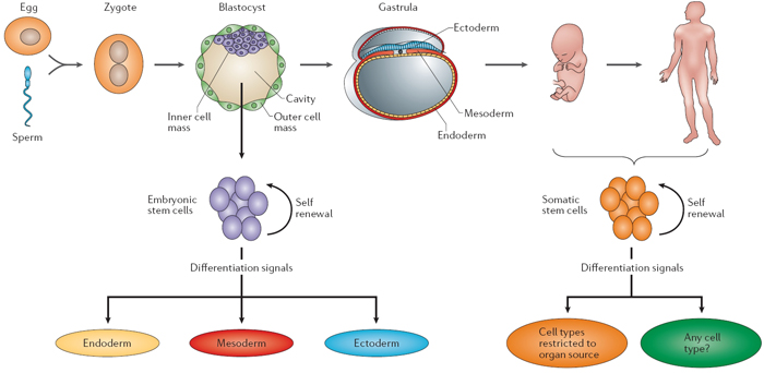 Embryogenesis Nature Review