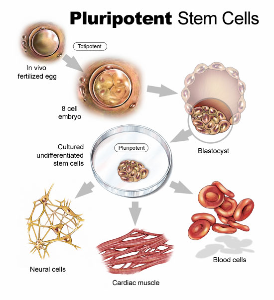 What Is Stem Exactly: The Morality Of Stem Cell Research